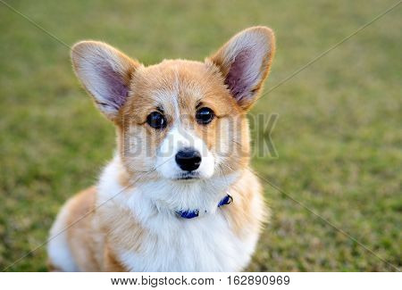 Welsh Corgi Pembroke dog sitting and waiting