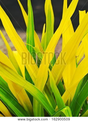 closeup shot of green and yellow leaves of a Crinum asiaticum or poison bulb giant crinum lily grand crinum lily spider lily