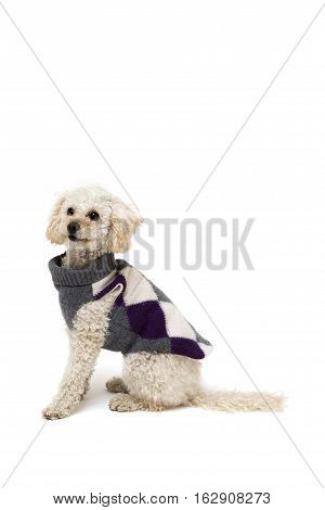 Cute little white poodle in dog clothes isolated on white