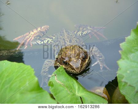 Frog in pond between leaves close up