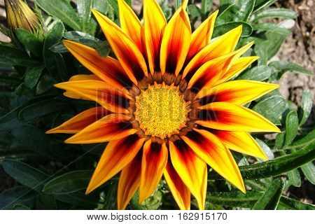 Opened flower gazania, painted in bright colors