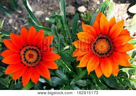 Two bright red gazania on the flowerbed