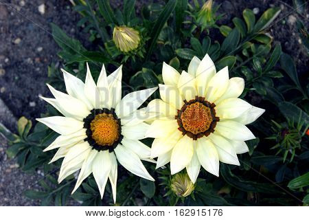 Two white flower gazania with a yellow  core