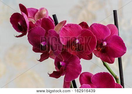 Orchid Phalaenopsis. Flowers beautiful purple orchid phalaenopsis.