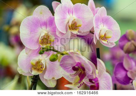 Orchid Phalaenopsis. Flower beautiful pink orchid Phalaenopsis.
