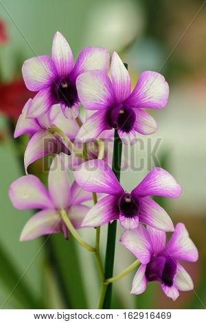 Orchid Dendrobium. Flowers beautiful purple orchid phalaenopsis.