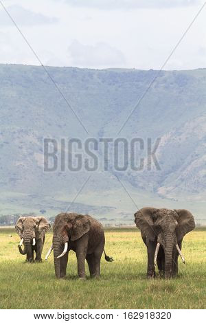 Three friends. Old elefants from crater. NgoroNgoro, Tanzania.
