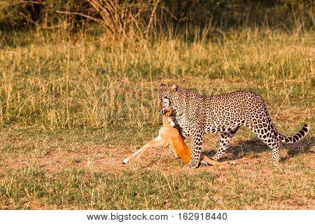 Hunters of savanna. Leopard with prey.  Kenya, Africa