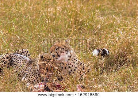 Cheetah family. Hunters of Masai Mara, Kenya. Africa