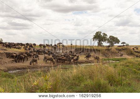 Wildebeest and zebras at Watering. Masai Mara, Kenya