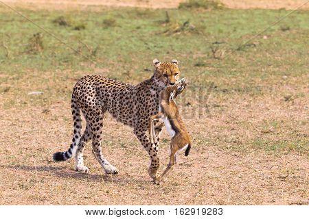 Hunters of savanna. Cheetah with prey. Kenya, Africa
