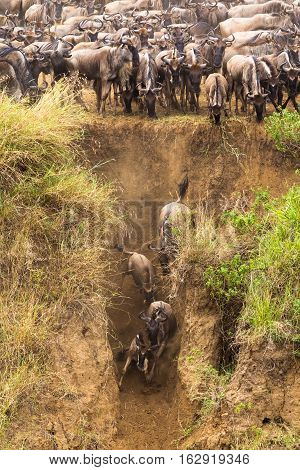 The great migration. On the bank of the river. Mara river, Africa