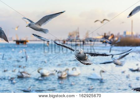Seagull. Winter day. Gulls flying in the port background.