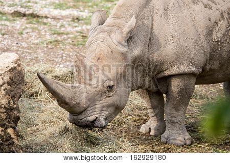 Portrait Of A White Rhinoceros Eating