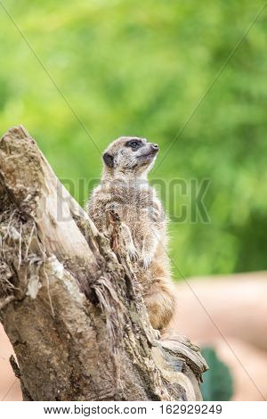 Suricate Standing On A Log