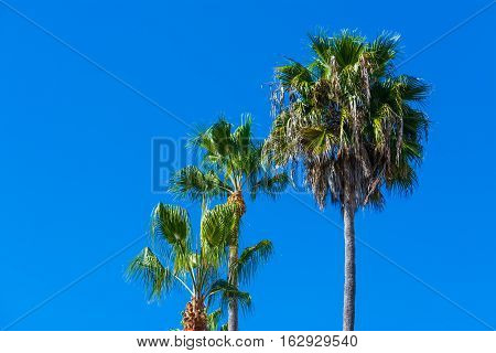 Palm trees in Laguna Beach in California