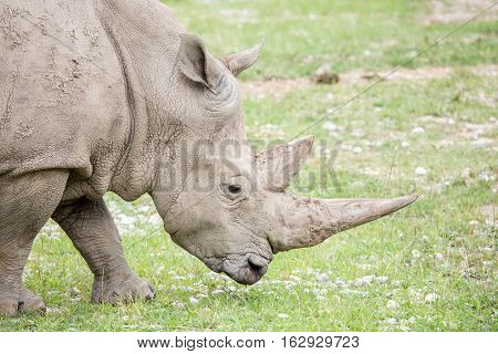 Portrait Of A White Rhinoceros With Huge Horns
