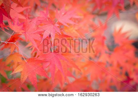 Maple leaves during autumn season, Japan, colourful background