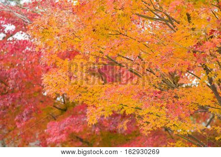 Red maple leaves during autumn season, Japan