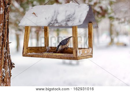 Nuthatch Sitta europaea sits on feeder covered snow in winter forest