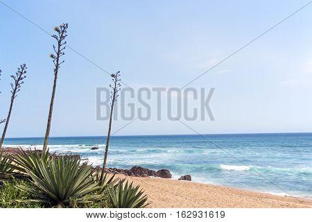 Stems Of Sisal Plant Against Beach Ocean And Skyline