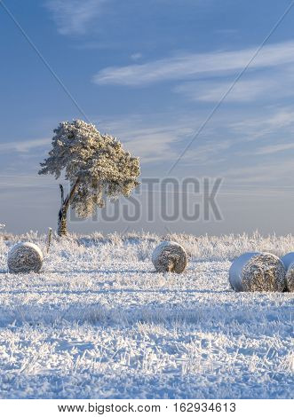 Snow covered field with rolls of hay and hoar frosted pine tree in cold winter day