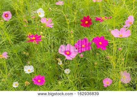 Pink white and red cosmos flowers gardenBlurry to soft focus and retro film look new color modern tone.