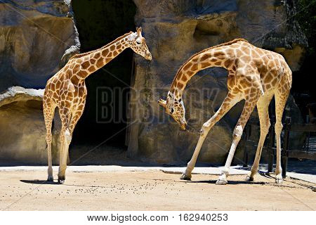 Two Giraffes one bowing to another at Taronga Park Zoo Sydney Autralia.