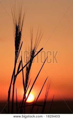 Wheat Stalk And Sun
