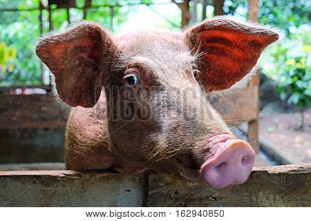 Pig face in the rural pigsty in countryside area of Sumatra, Indonesia
