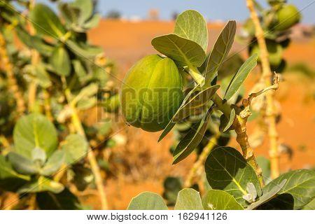 Desert Plant Sodom Apple, Morocco