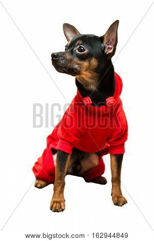 Toy terrier dog sitting isolated on white background