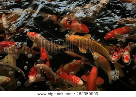 Koi Carps in various colors and sizes in a fish pond