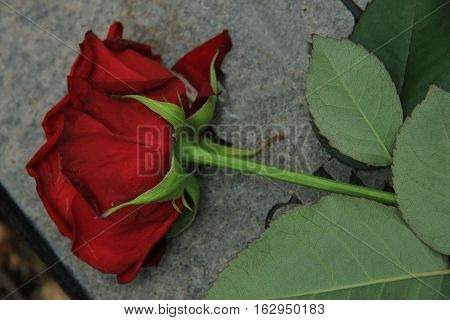 A red rose on a grey gravestone