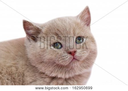 Kitten in beige color. Little kitten on white background isolated. British breed of cat red.