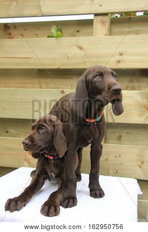 German shorthaired pointer puppies 8 weeks old solid liver sisters