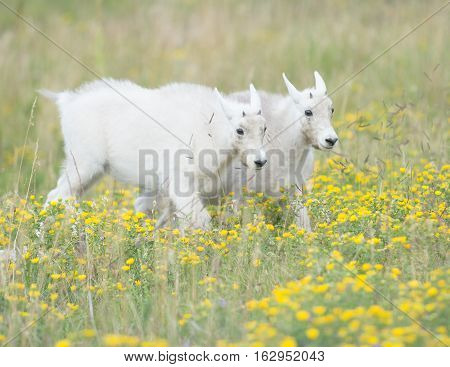 Mountain Goat yearlings strolling through the grass