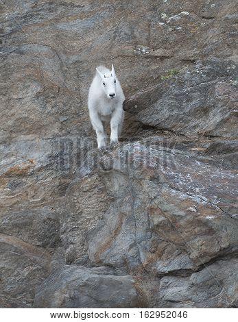 Oreamnos americanus  Rocky Mountain Goat near Mount Rushmore South Dakota