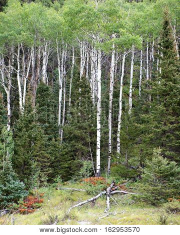 Colorado Aspens in the San Juan National Forest