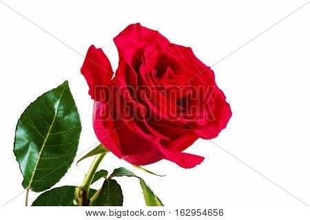 Red roses.One red rose on a white background. Isolated white background.