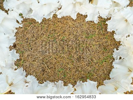 White flowers background White flower frame Wild flowers cache. Herb for improve digestive system pituitary and sleep
