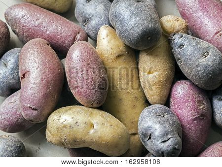 Potato cultivars appear in variety of colors shapes sizes purple red