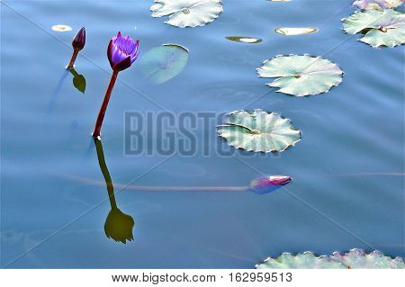 Purple Water Lily with Blue Background and Lily Pads