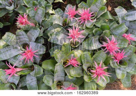 Beautiful chrysanthemum as background picture. Chrysanthemum wallpaper