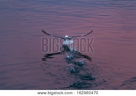 Rear view of seagull stepping taking flight with footsteps and splashes on rippled water, reflecting red color in twilight after sunset.
