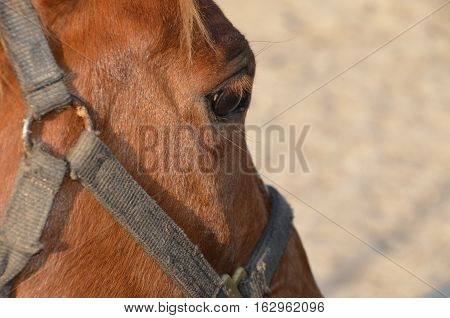 close up of horse eye, Closeup of brown horses eye with lashes, brown and white coat.