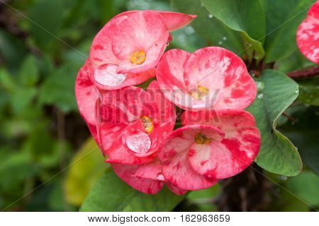 Crown of thorns or Christ Thorn flower. (Euphorbia milli) pink color on blur green leaf background.