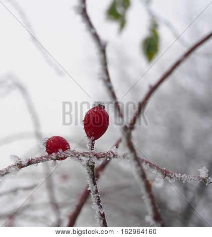 Frozen red brier on branch and icing
