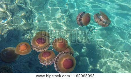 Jellyfish (aka Jellies) aquatic cnidaria animal in water