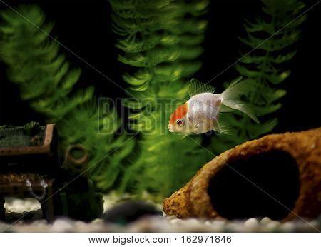 Single goldfish, a lionhead, in the tank.